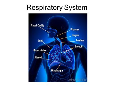 Respiratory System. I. Function (job) of the Respiratory System A.Respiration is to provide gas exchange between the blood and the environment.