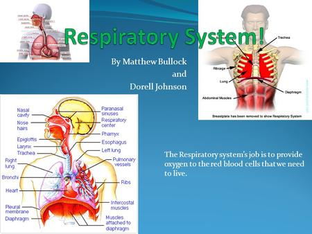 By Matthew Bullock and Dorell Johnson The Respiratory system's job is to provide oxygen to the red blood cells that we need to live.