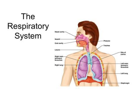 The Respiratory System. 2 Respiration Includes  Pulmonary ventilation  Air moves in and out of lungs  Continuous replacement of gases in alveoli (air.