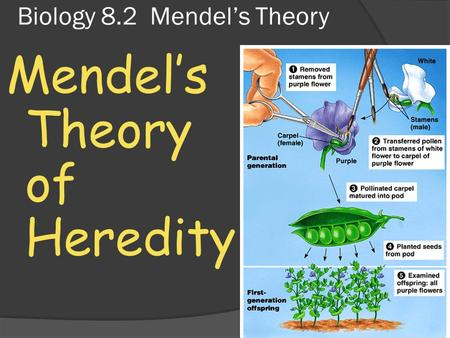 Biology 8.2 Mendel's Theory Mendel's Theory of Heredity.