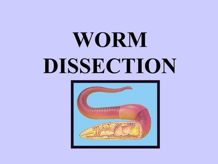 "WORM DISSECTION. NAMING Kingdom: Phylum: Class: ANIMALIA Annelida ""little rings"" OLIGOCHAETA ""few bristles"" (=SETA pl: SETAE)"