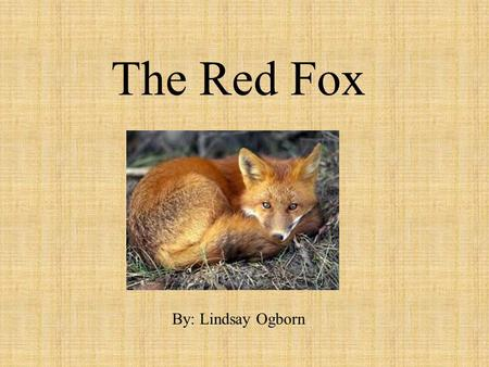 The Red Fox By: Lindsay Ogborn. What does my animal look like? Has a big bushy tail Weighs 9-11 lbs. Height is 18-36 in. Has big ears Has red, white,