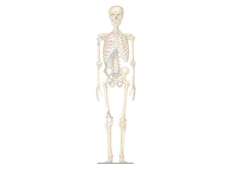 "Skeletal System ""Framework of the body"" Works with muscle system – Body movement JOBS – Movement – Protection (vital organs) – Site of cell making (blood."