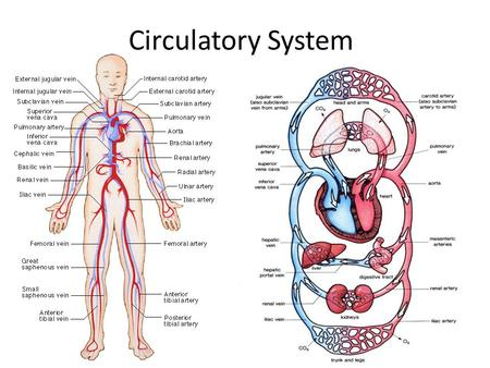 Circulatory System. Circulation In the United States of America, what do we use to transport goods? – Roads, railroad tracks, and airline routes. Our.