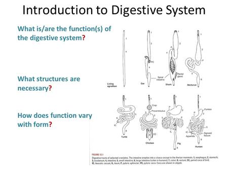 What is/are the function(s) of the digestive system? What structures are necessary? How does function vary with form? Introduction to Digestive System.