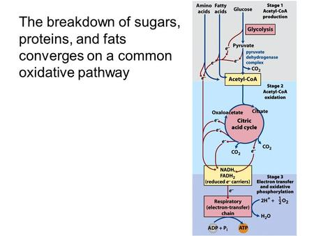 The breakdown of sugars, proteins, and fats converges on a common oxidative pathway.