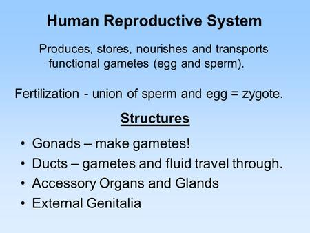 Human Reproductive System Gonads – make gametes! Ducts – gametes and fluid travel through. Accessory Organs and Glands External Genitalia Fertilization.