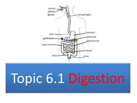 Topic 6.1 Digestion. TOPIC 6.1 DIGESTION The structure of the wall of the small intestine allows it to move, digest and absorb food.