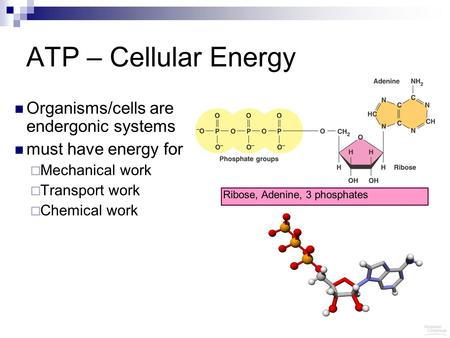 ATP – Cellular Energy Organisms/cells are endergonic systems must have energy for  Mechanical work  Transport work  Chemical work Ribose, Adenine, 3.