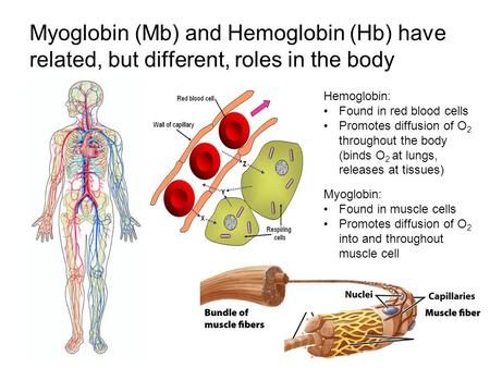 Myoglobin (Mb) and Hemoglobin (Hb) have related, but different, roles in the body Hemoglobin: Found in red blood cells Promotes diffusion of O 2 throughout.