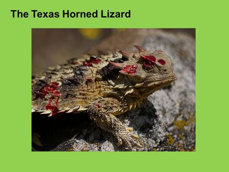 The Texas Horned Lizard. Animals of the rainforest LO: To identify adaptations that animals in the rainforest have and use them to create your own rainforest.