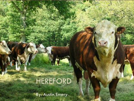Hereford By: Austin Emery.