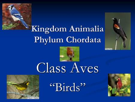 "Kingdom Animalia Phylum Chordata Class Aves ""Birds"""