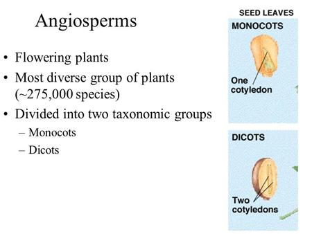 Angiosperms Flowering plants Most diverse group of plants (~275,000 species) Divided into two taxonomic groups –Monocots –Dicots.