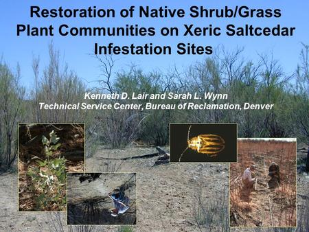 Restoration of Native Shrub/Grass Plant Communities on Xeric Saltcedar Infestation Sites Kenneth D. Lair and Sarah L. Wynn Technical Service Center, Bureau.