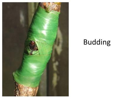 Budding. Definition Budding – a type of grafting in which the scion is reduced to a single bud with a thin shield of bark and wood.