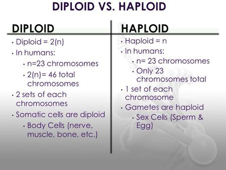 DIPLOID Diploid = 2(n) In humans: n=23 chromosomes 2(n)= 46 total chromosomes 2 sets of each chromosomes Somatic cells are diploid Body Cells (nerve, muscle,