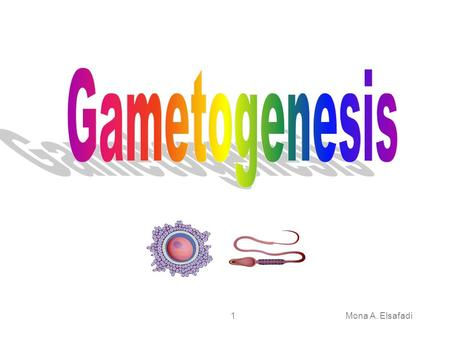 Mona A. Elsafadi1. 2 Gametogenesis a process of formation and development of specialized generative cells (gametes) Involves chromosomes and cytoplasm.