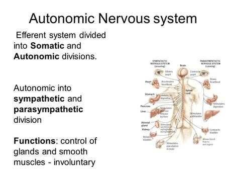 Autonomic Nervous system Efferent system divided into Somatic and Autonomic divisions. Autonomic into sympathetic and parasympathetic division Functions: