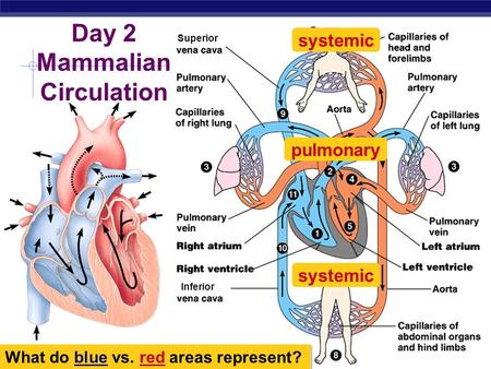Day 2 Mammalian Circulation