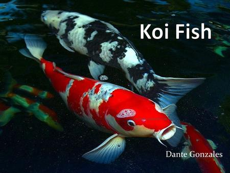 Dante Gonzales. The Picture I Used Diet Koi fish that are kept as pets are fed peas, lettuce, watermelons, and other fruits and vegetables that float.
