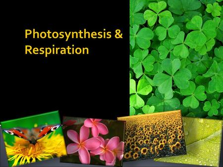  Photosynthesis  Photosynthesis- A process by which plants convert sunlight, water, and CO2 into food energy (sugar) & oxygen and water.  Chloroplast.