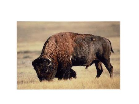 How important were buffalo and horses to the Plains Indians?