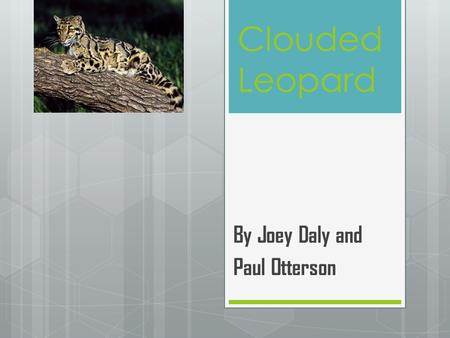 Clouded Leopard By Joey Daly and Paul Otterson. Clouded Leopard Facts  Part of the Leap Group of leopards  Not much is known about their habits because.