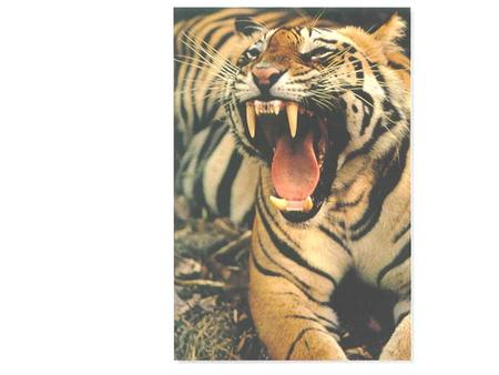 BENGAL TIGER. ATOM COPPER ATOMS OF CONDUCT ORS.
