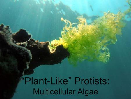 """Plant-Like"" Protists: Multicellular Algae. Multicellular Algae - Red, Brown, and Green Algae AKA ""Seaweed"" Algae lack an internal system of tubes to."