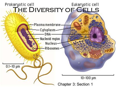 The Diversity of Cells Chapter 3: Section 1. Cells and the Cell Theory Robert Hooke - First to see blood, bacterial, and yeast cells First to observe.