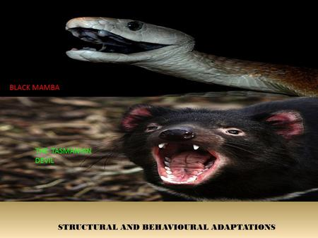 STRUCTURAL AND BEHAVIOURAL ADAPTATIONS BLACK MAMBA THE TASMANIAN DEVIL.