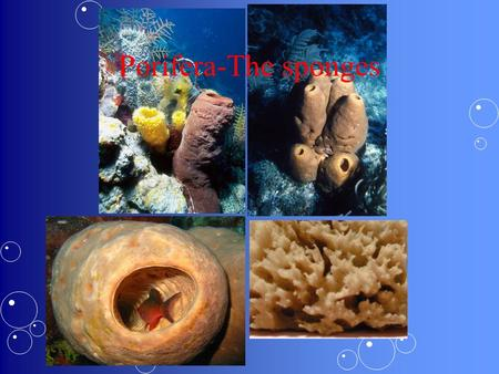 Porifera-The sponges. Porifera I. Considered simple animals as they consist of many cell types with special functions & they lack tissues and organs.