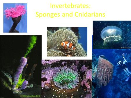 Invertebrates: Sponges and Cnidarians. Sponges: Phylum Porifera means- pore bearer Simplest of all animals Assymetrical animals that live in shallow waters.