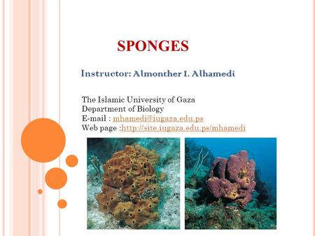 SPONGES Instructor: Almonther I. Alhamedi The Islamic University of Gaza Department of Biology   Web.
