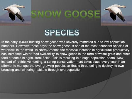 In the early 1900's hunting snow geese was severely restricted due to low population numbers. However, these days the snow goose is one of the most abundant.