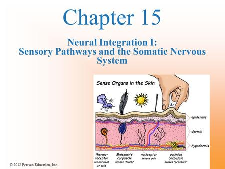 © 2012 Pearson Education, Inc. Chapter 15 Neural Integration I: Sensory Pathways and the Somatic Nervous System.