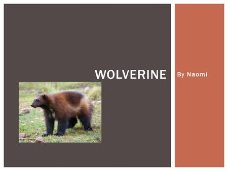 By Naomi WOLVERINE. A wolverine is an animal that looks a bit half dog, skunk and bear and are actually quiet alike in behaviour for example a wolverine.