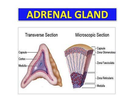 At the end of this lecture, the student should be able to: Enumerate the adrenocortical and adrenomedullary hormones Describe the chemical nature, source.