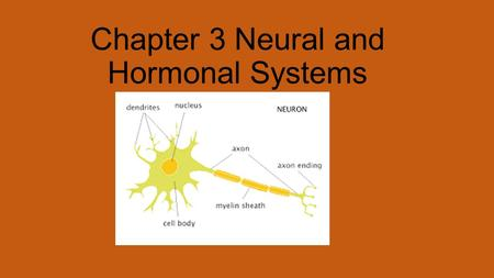 Chapter 3 Neural and Hormonal Systems. Neurons: The Building Blocks of the Nervous System. Nervous system is your body's electrochemical communication.