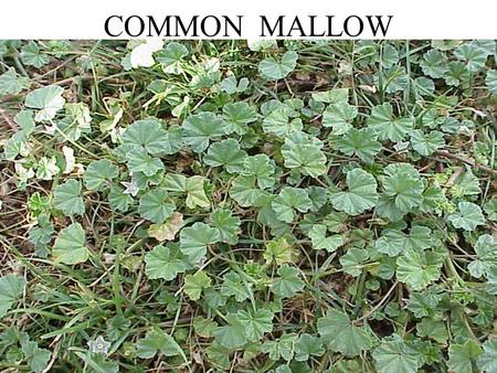 COMMON MALLOW. RED CLOVER REDROOT PIGWEED COMMON GROUNDSEL.