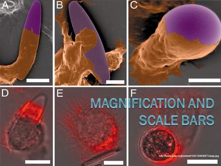 light microscope to determine scale of object 22 magnification and calibration or drawn using either a light microscope or the different types of measure the object or scale bar in mm.