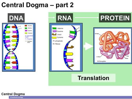 Translation DNARNAPROTEIN Central Dogma of molecular biology Central Dogma – part 2.