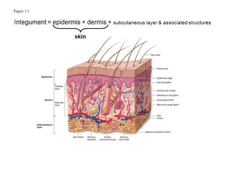 Figure 5.1 Integument = epidermis + dermis + subcutaneous layer & associated structures skin 1.