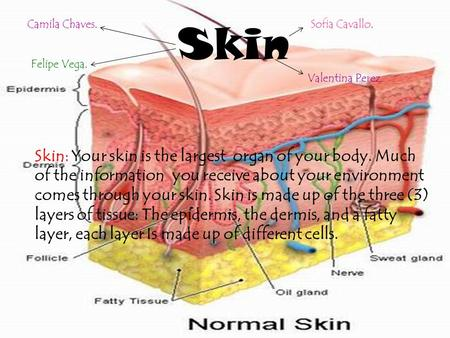 Skin Skin: Your skin is the largest organ of your body. Much of the information you receive about your environment comes through your skin. Skin is made.