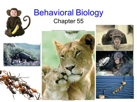 Behavioral Biology Chapter 55 Behavioral Biology Behavior: –the way an animal responds to stimuli in its environment –2 components of behavior 1.Proximate.