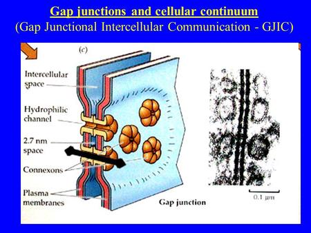 Gap junctions and cellular continuum (Gap Junctional Intercellular Communication - GJIC)