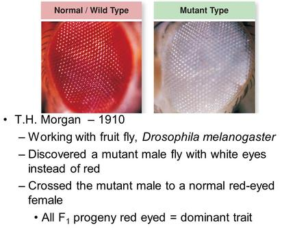 T.H. Morgan – 1910 –Working with fruit fly, Drosophila melanogaster –Discovered a mutant male fly with white eyes instead of red –Crossed the mutant male.