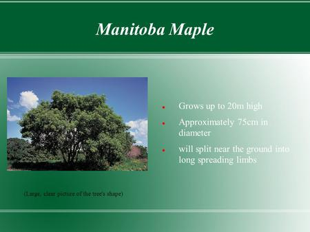 Manitoba Maple Grows up to 20m high Approximately 75cm in diameter will split near the ground into long spreading limbs (Large, clear picture of the tree's.