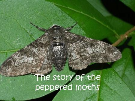 The story of the peppered moths. Once upon a time, there was a specie of moth called the peppered moth.